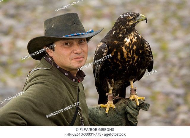 Harris Hawk Parabuteo unicinctus adult, perched on glove of falconer, Andes, Ecuador