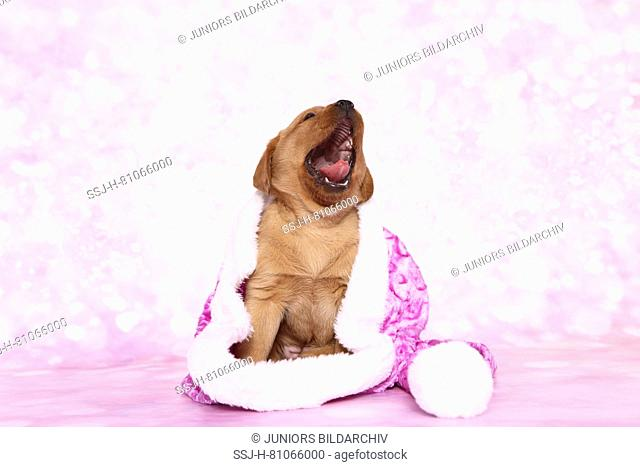 Labrador Retriever. Puppy (6 weeks old) sitting in a pink Santa Claus hat while yawning. Studio picture seen against a pink background. Germany