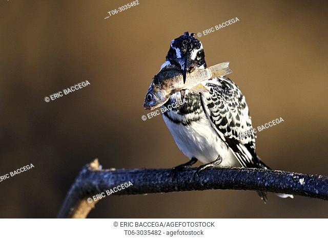 Pied kingfisher (Ceryle rudis) perched on a branch with fish prey. Baringo lake. Kenya, Africa