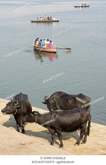 Water buffalo and River Boat on the Ganges River, Varanasi, formerly Benares, Uttar Pradesh, India
