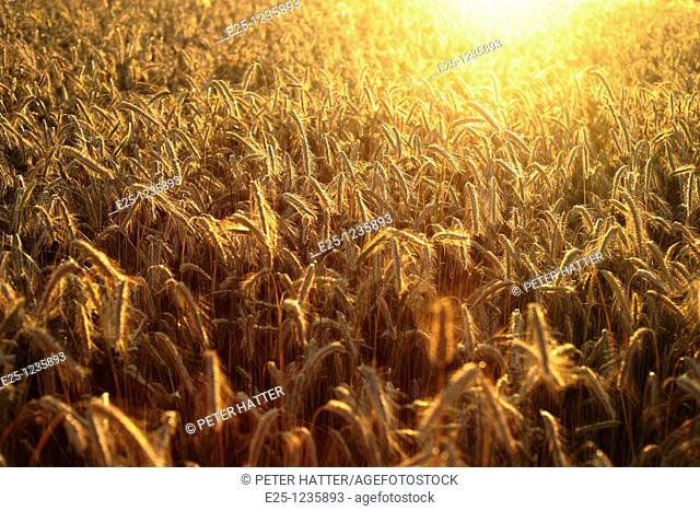 A cereal crop growing in a field with light from a late afternoon sun setting behind
