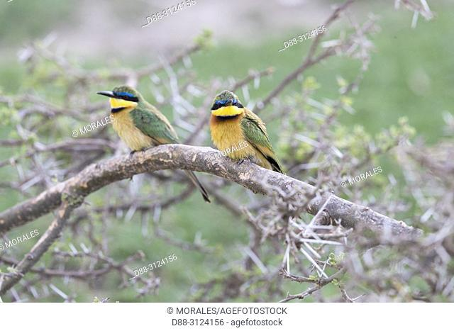 Africa, Ethiopia, Rift Valley, Ziway lake, Llittle bee-eater (Merops pusillus), Pair perched on a branch