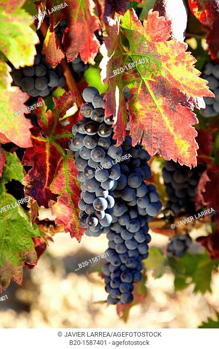 Tempranillo grape, Vineyards, Samaniego, Araba, Rioja Alavesa, Basque Country, Spain