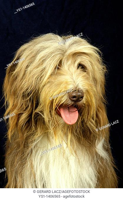 Bearded Collie, head of adult against black background