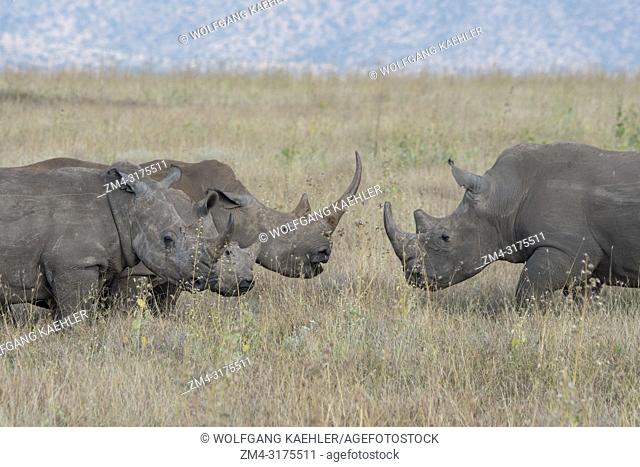Endangered white rhinoceros or square-lipped rhinoceros (Ceratotherium simum) in the grassland at the Lewa Wildlife Conservancy in Kenya