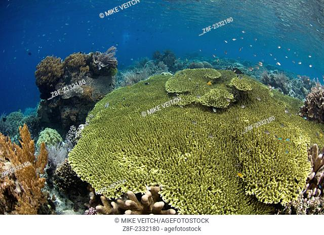 Shallow coral reef in Bunaken Marine Park, with a variety of table, leather, and staghorn corals, Acropora sp., Porites sp., Litophyton sp