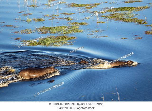 Hippopotamus (Hippopotamus amphibius), two adults with a calf in a freshwater marsh, aerial view, Okavango Delta, Moremi Game Reserve, Botswana