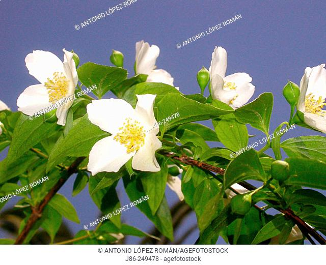 Flowers (Philadelphus grandiflorus)