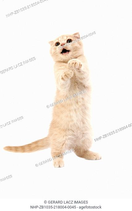 Cream Scottish Fold Domestic Cat, 2 Months Old Kitten against White Background