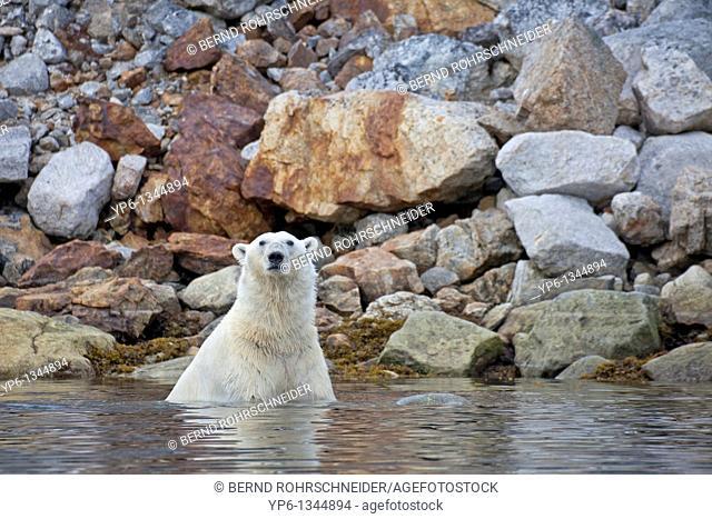 Polar Bear, Ursus maritimus, swimming in water at rocky coast, Spitsbergen, Svalbard