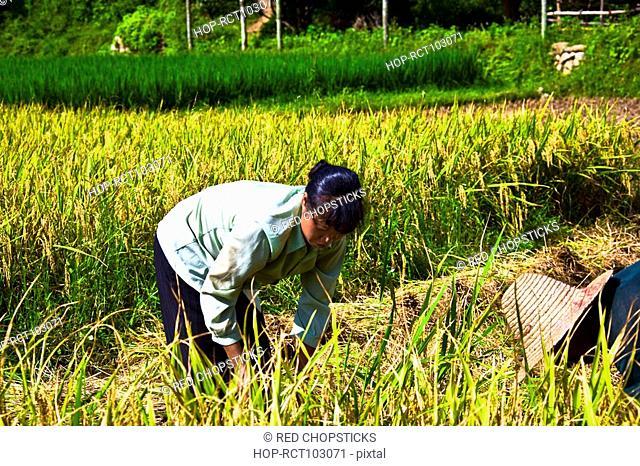 Two farmers working in a rice paddy field, Xingping, Yangshuo, Guangxi Province, China