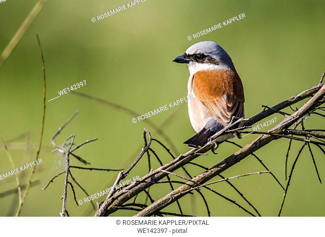 Germany, Saarland, Bexbach - A red-backed shrike is sitting on a branch and looks for fodder