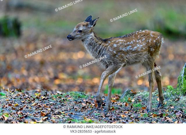 Sika Deer, Cervus nippon, Fawn, Germay, Europe