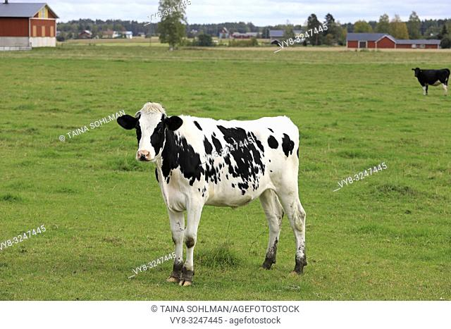 Young, curious Holstein-Friesian cow standing on green grassy farmland on a day of summer