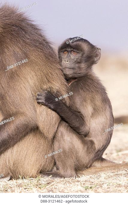 Africa, Ethiopia, Rift Valley, Debre Libanos, Gelada or Gelada baboon (Theropithecus gelada), adult female with a baby