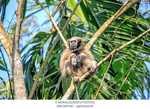 South east Asia, India,Tripura state,Gumti wildlife sanctuary,Western hoolock gibbon (Hoolock hoolock), adult female