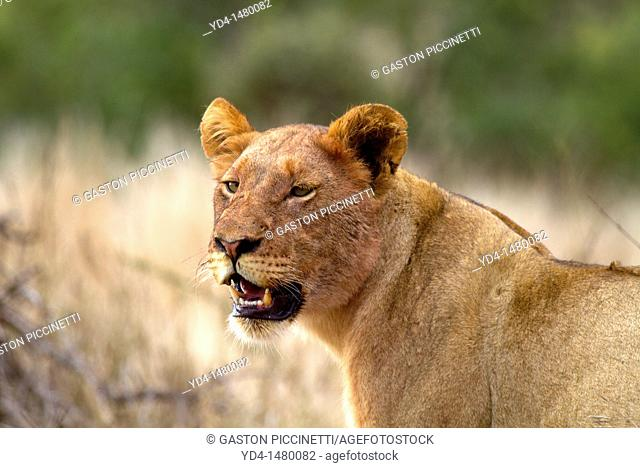 African lion Panthera leo - Female, after eat, Kruger National Park, South Africa