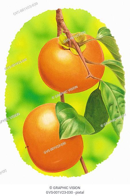 Illustration of Persimmon Growing