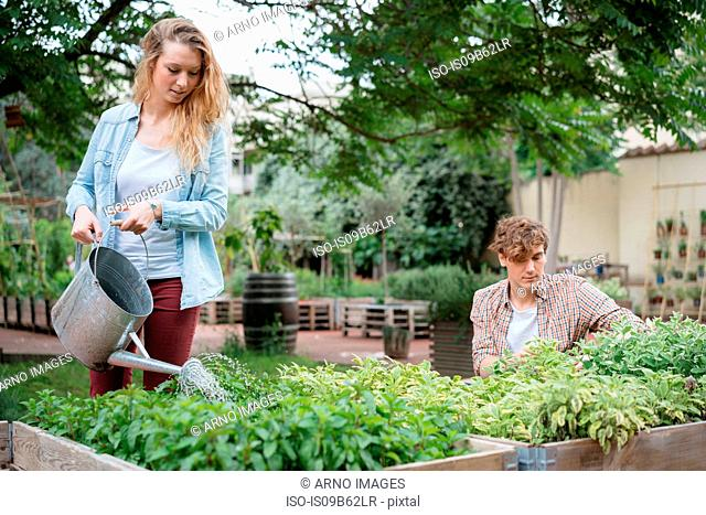 Young man and woman tending to plants in wooden troughs, young woman water plants using watering can