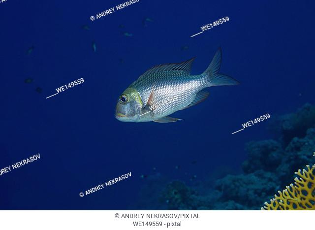 Bigeye Emperor or Humpnose big-eye bream (Monotaxis grandoculis) floats in blue water near coral reef, Red sea, Dahab, Sinai Peninsula, Egypt