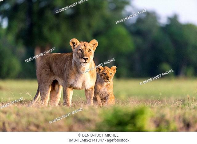 Kenya, Masai Mara game Reserve, lion (Panthera leo), female and young cubs at sunrise