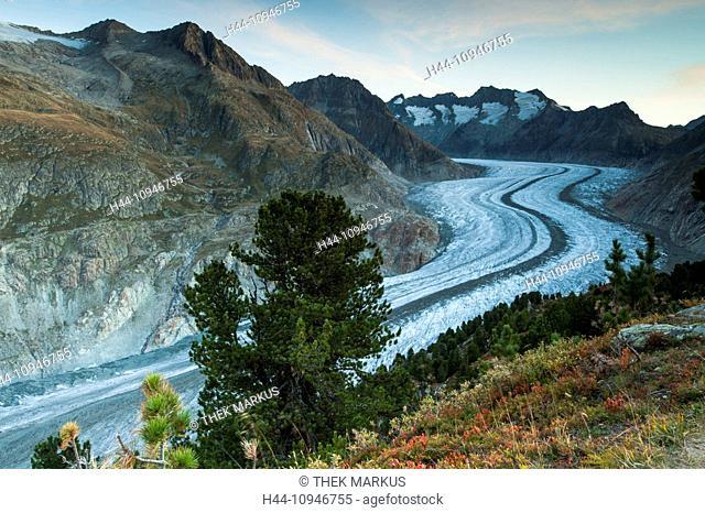 Aletsch glacier, Aletschwald, Alps, stone pine, stone pines, mountain, ice, Europe, mountains, Geisshorn, Glacier, Glacier d'Aletsch, glacier, Gross Wannenhorn