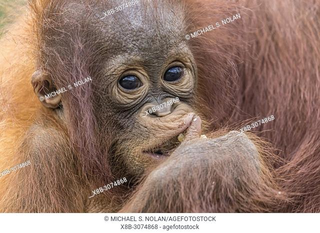 Mother and baby Bornean orangutans, Pongo pygmaeus, Buluh Kecil River, Borneo, Indonesia