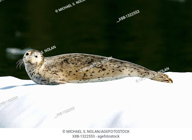 Adult harbor seal Phoca vitulina on icebergs calved from the LeConte Glacier just outside Petersburg, Southeast Alaska  Mother harbor seals gather here each May...