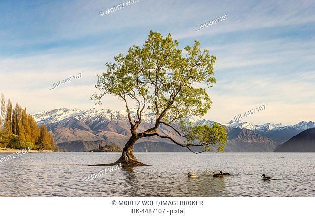 Single tree standing in water, The Wanaka Tree, Lake Wanaka, Roys Bay, Otago, Southland, New Zealand