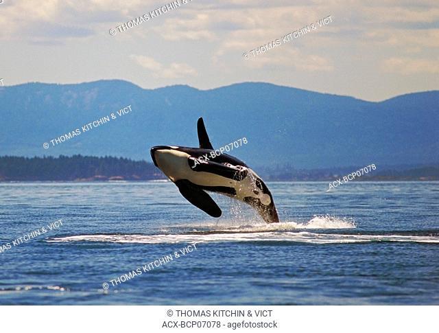 Orca breaching in Haro Strait, British Columbia, Canada