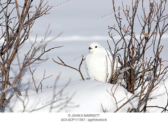 White-tailed ptarmigan, Lagopus leucura, camouflaged in the snow Alberta, Canada