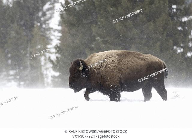 American Bison ( Bison bison ) in winter, heavy bull, walking through deep snow, snowfall, harsh winter weather, Yellowstone NP, Wyoming, USA.