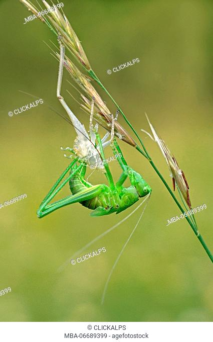Tettigoniidae, Casareggio, Liguria, Vobbia, Italy