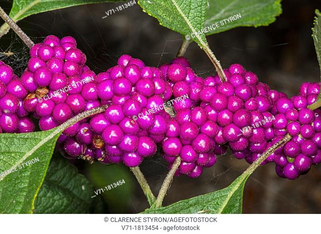 Beauty Berry Callicarpa americana at Corolla, NC USA Outer Banks