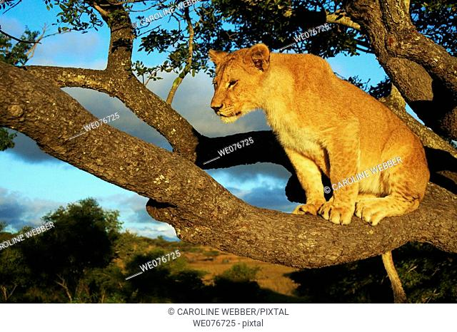 Lion perched in tree