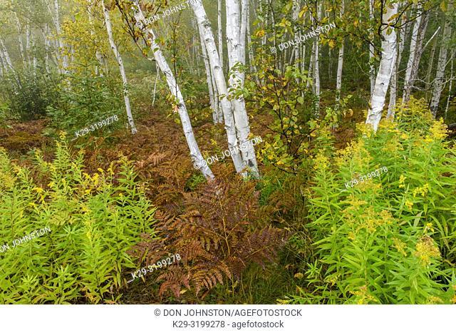 Late summer bracken ferns in a birch woodland with light fog, Greater Sudbury, Ontario, Canada