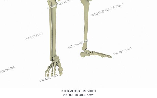 Animation depicting a rotation of the skeletal system. The camera pans up the body as it rotates and then zooms out to reveal the full skeletal system