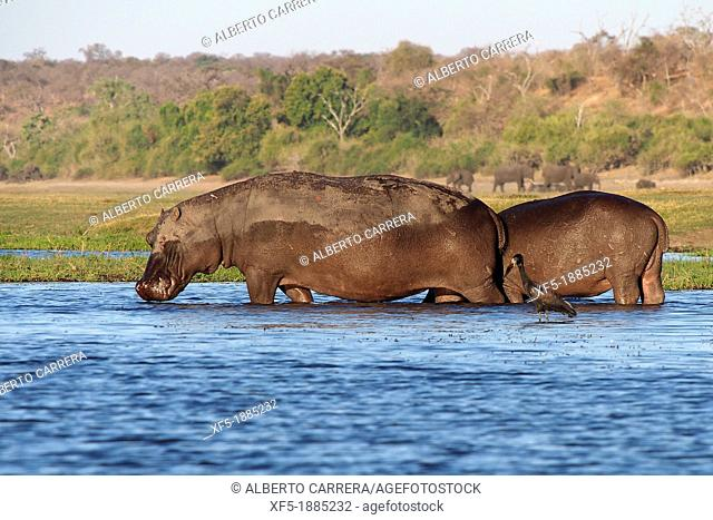 Hippopotamus, Hippopotamus amphibius, Chobe River, Chobe National Park, Botswana, Africa