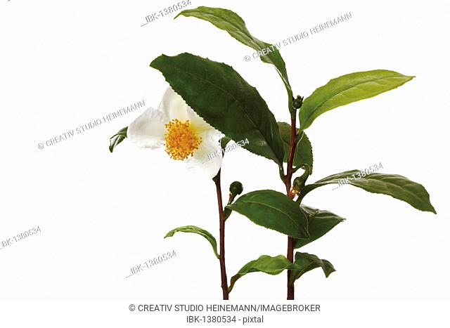 Tea plant (Camellia sinensis), flower and leaves