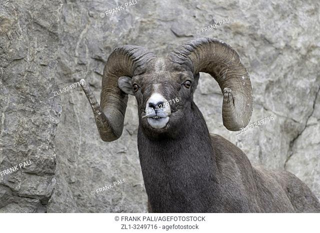 Bighorn sheep in Yellowstone's Lamar Valley