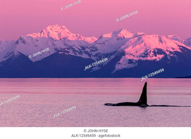 Orca whale (Orcinus orca) near Admiralty Island in Inside Passage with Coast Range in the background, Southeast Alaska; Alaska, United States of America