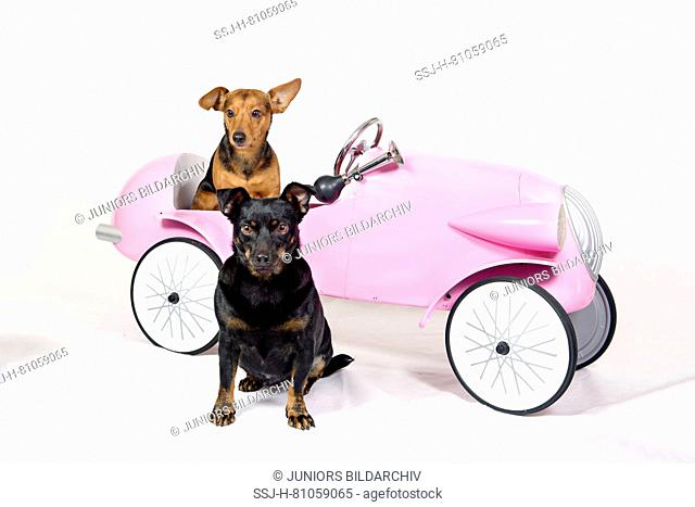 German Pinscher/Dachshound Mix Balou sitting in a pink car, Terrierbitch Frieda sitting in front of the car