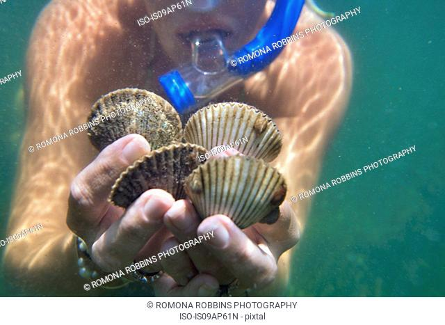 Underwater close up of female scuba divers hands holding live scallops, Port St Joe, Florida, USA