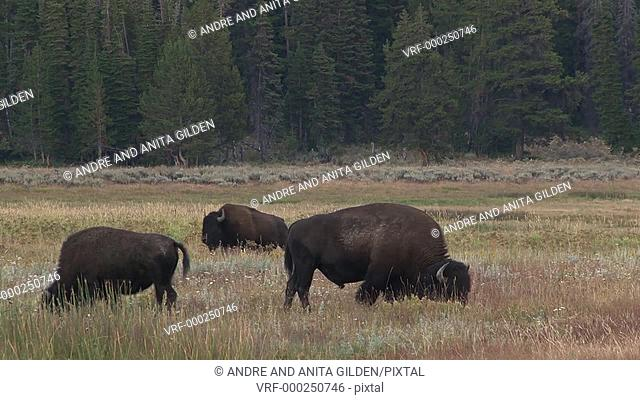 Bison (Bison bison) grazing with pine trees in background