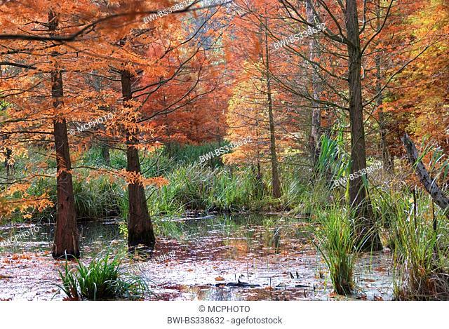 baldcypress (Taxodium distichum), in a pond in autumn, Germany