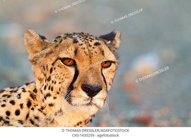 Cheetah Acinonyx jubatus - Close-up of a female in the last light of the evening  Photographed in captivity on a farm  Namibia