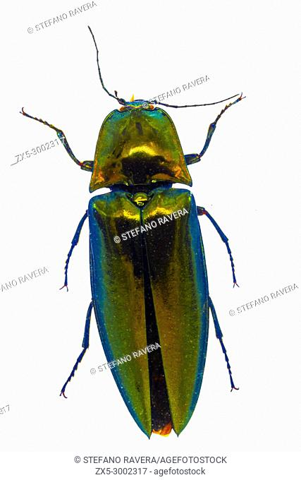 Click Beetle in resin - China