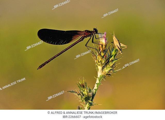 Copper Demoiselle (Calopteryx haemorrhoidalis), male, Camargue, Southern France, France, Europe