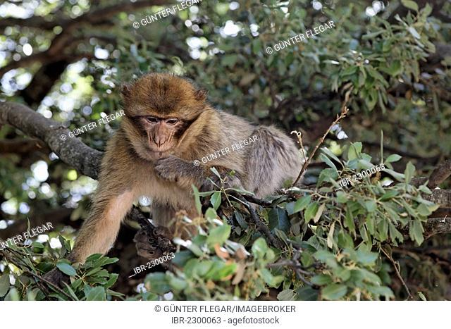 Barbary Macaque (Macaca sylvanus) at the national park near Ifrane, Meknès-Tafilalet, Morocco, North Africa, Maghreb, Africa