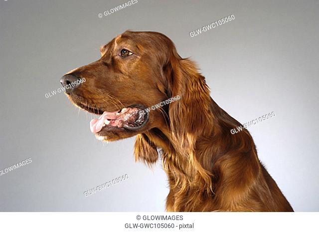 Side profile of a Cocker Spaniel's